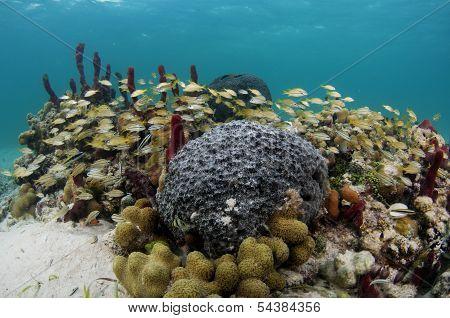Caribbean Coral And fish