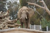 - Photo taken from the Zoo's new Elephant Odyssey Exhibit. poster