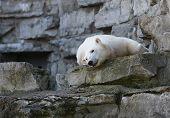 a polar bear sleeping on the rocks. poster