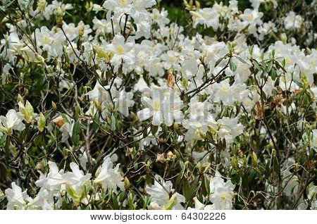 Azalea Blooming On Tree