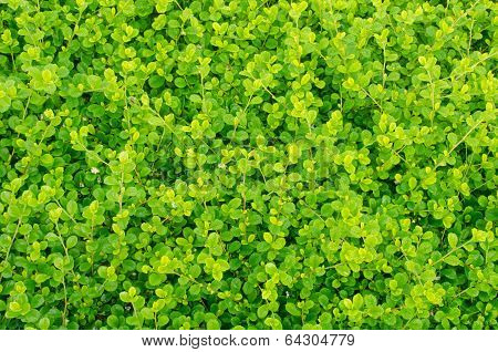 Carmona Retusa Leaves