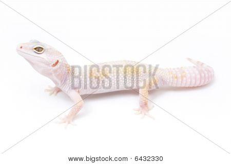 Phantom Leopard Gecko