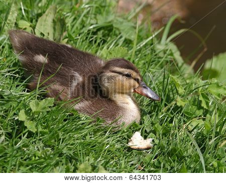 Duckling on grass
