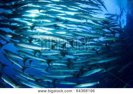 School Barracuda Fish in Sipadan, Malaysia