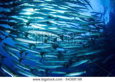 School Barracuda Fish in Sipadan, Malaysia