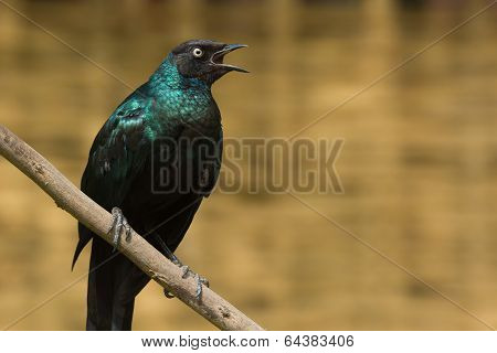 A Long-Tailed Starling (Lamprotornis chalcurus) calling out a warning poster