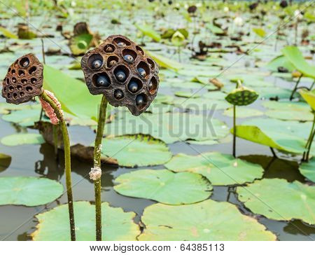 The lotus pod and the lotus seed The snail in the lagune poster