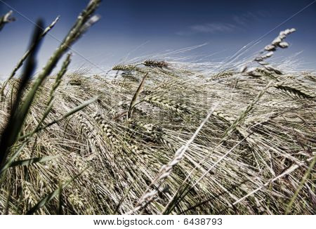In Grain Field - Closeup