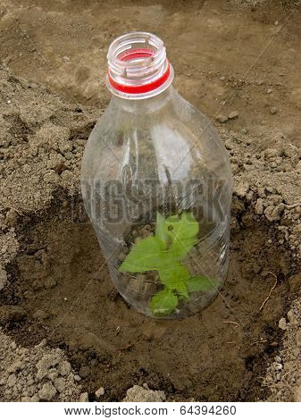 pepper seedling growing in plastic bottle as small hothouse