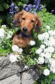 Longhair dachshund puppy outside surrounded by spring flowers.  poster