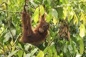 Orangutan in rainforest poster