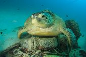 Environmental problem: Sea Turtle rests on underwater rubbish dump with old tyres and other garbage poster