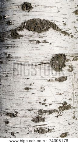 Texture Of Birch Bark Covered With  Moss