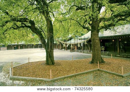 Two Camphor Trees