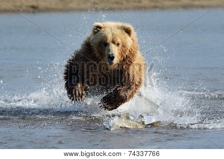 Grizzly Bear hunting for salmon