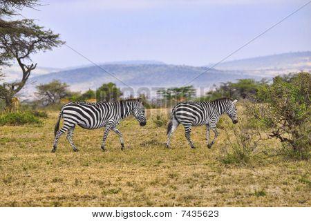 Cebras en África
