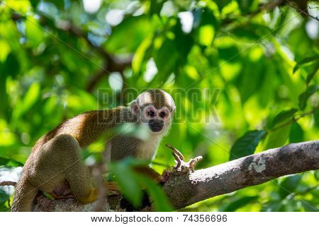 A Black-capped Squirrel Monkey Sitting On A Tree (saimirinae Saimiri Boliviensis)