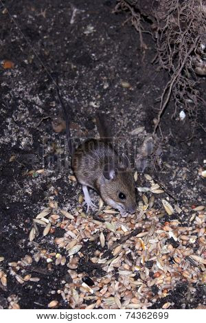 Wild Mouse Scavenging For Food.