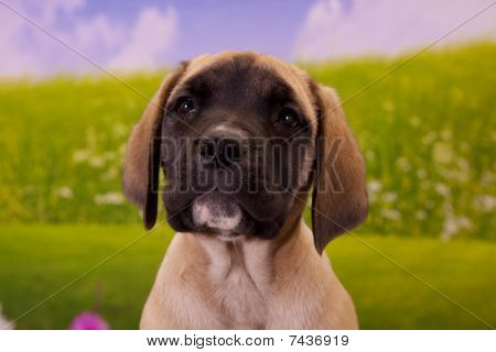 Little English Mastiff puppy