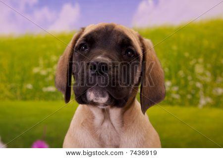 Little English Mastiff puppy