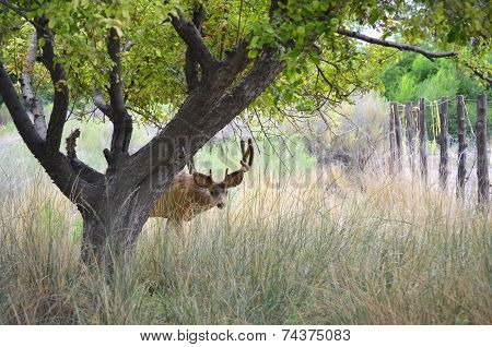 Deer buck peeking out from hiding place behind an apple tree in tall grass poster