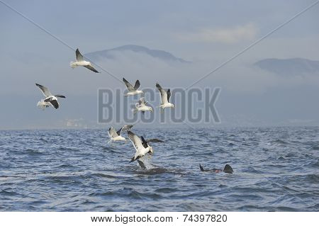 Fin of a white shark and Seagulls eat oddments from prey of a Great white shark