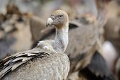 Griffon vulture portrait with blood on the neck and head. poster