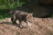 Grey Wolf Pup (Canis lupus) Runs Right - captive animal poster