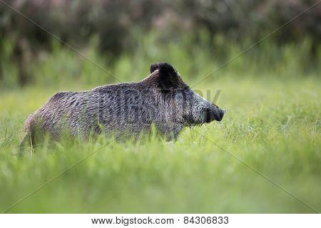 Wild boar in the wild