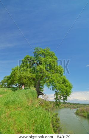 Oak tree and river