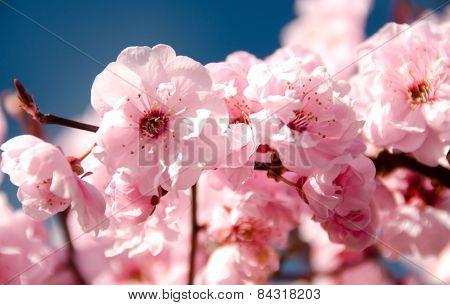 Rich Cherry Blooming In Redmond