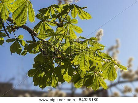 Branch Chestnut