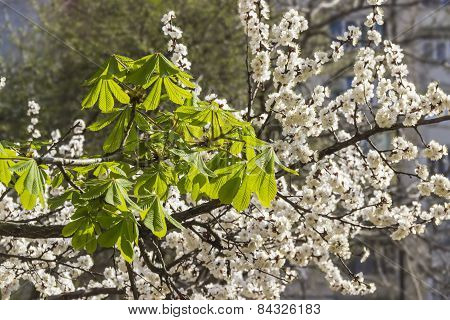 Branch Of Chestnut On A Background Of Apricot