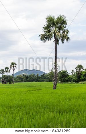 Paddy Field With Parm Tree In Thailand