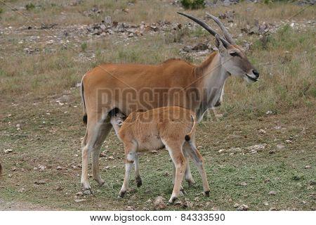 Kudu Baby Nursing On Mom