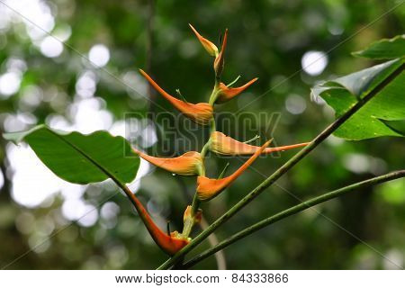 Orange Heliconia