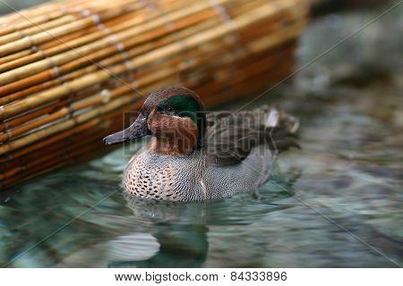 Eurasian Teal Swim