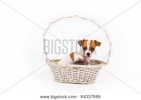 Beckoning Chihuahua Puppy Sitting In A Basket
