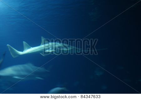 Grey Shark In Deep Blue Water
