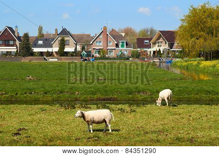 Sheep Grazing on Green Meadow near a Small Dutch Town
