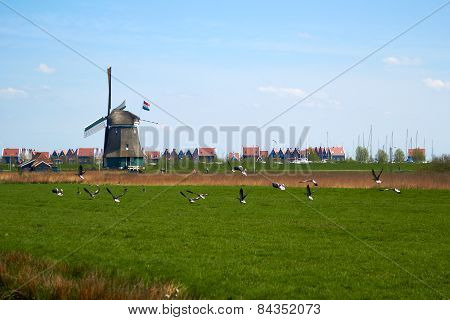 Migration of geese flying over a meadow with Dutch wimdmill