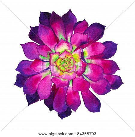 watercolor illustration of a aeonium cactus flower.