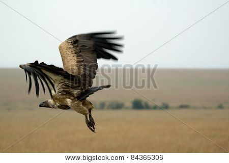 Vulture coming into land onto some carrion in Kenya.