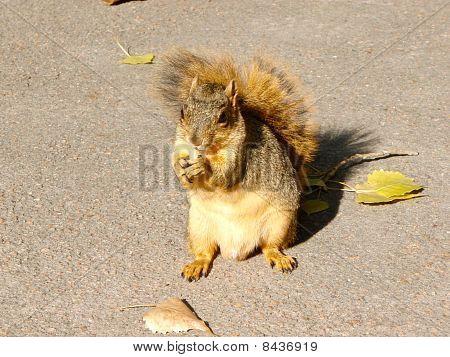 Squirrel Eating