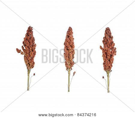Sorghum Isolated On White
