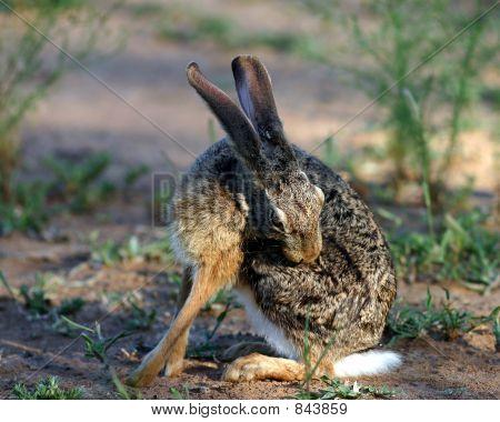 Scrub Hare1