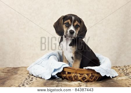 Beagle Puppy In A Basket