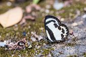 Close up of Straight Pierrot (Caleta roxus) butterfly puddling on the ground in nature poster