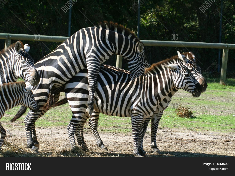 Секс зебра