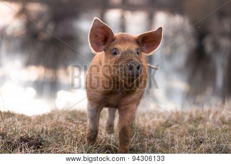Cute Orange Mangulitsa Pig